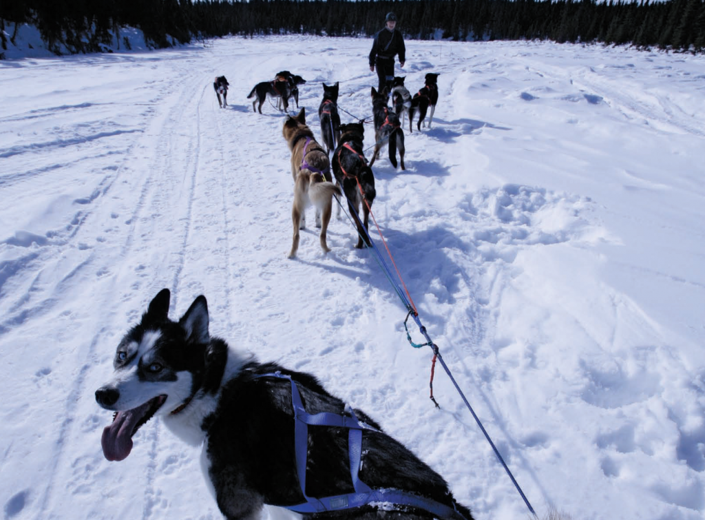 Pack of sled dogs in the snow
