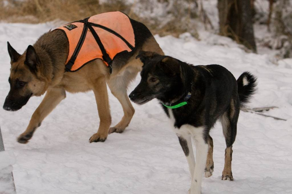 Two rescued sled dogs in the snow